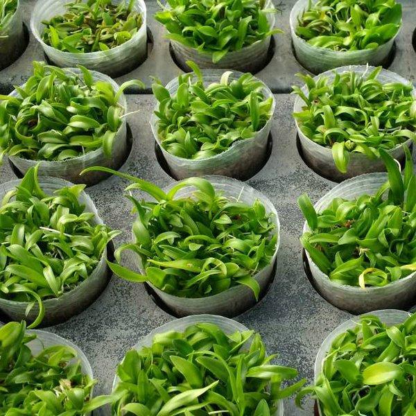 Bibit Kompot Anggrek Dendrobium Hybrid