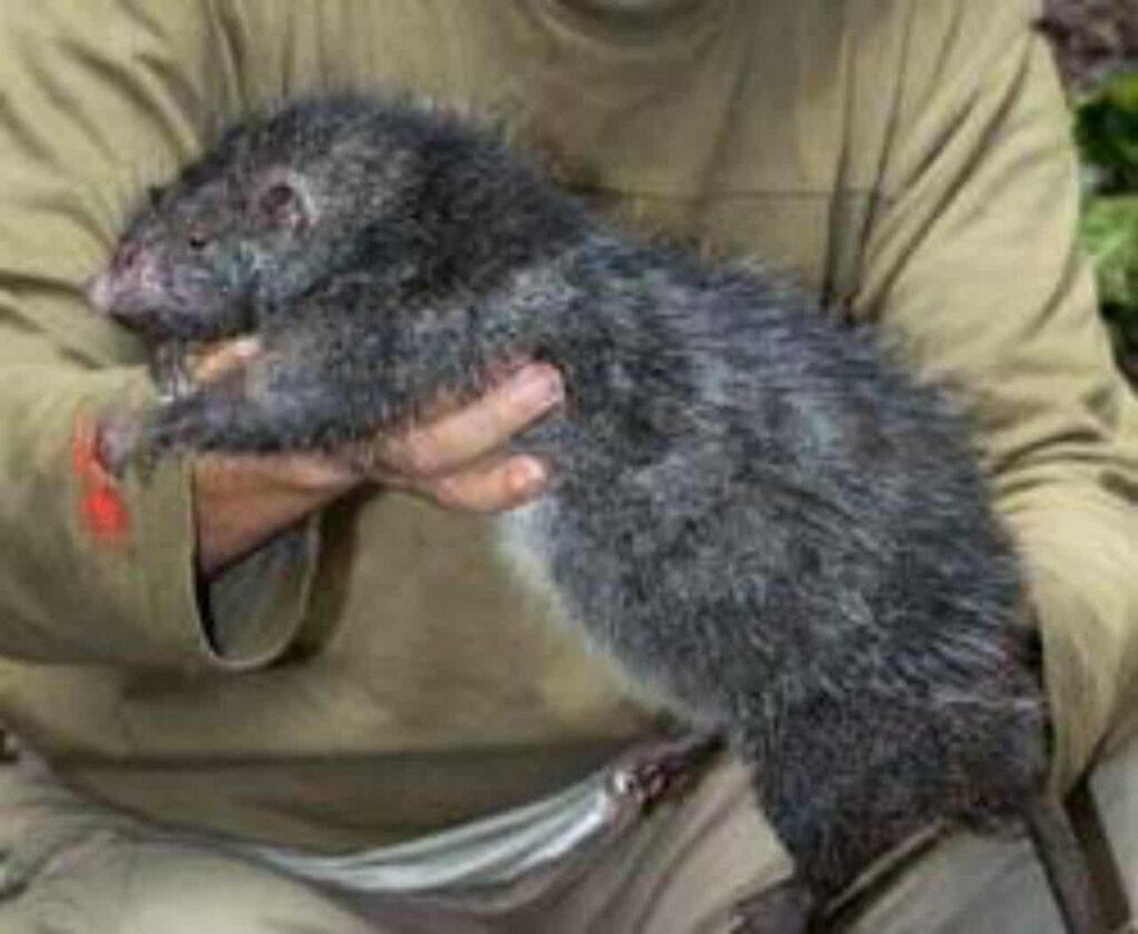 Tikus Berbulu Bosavi