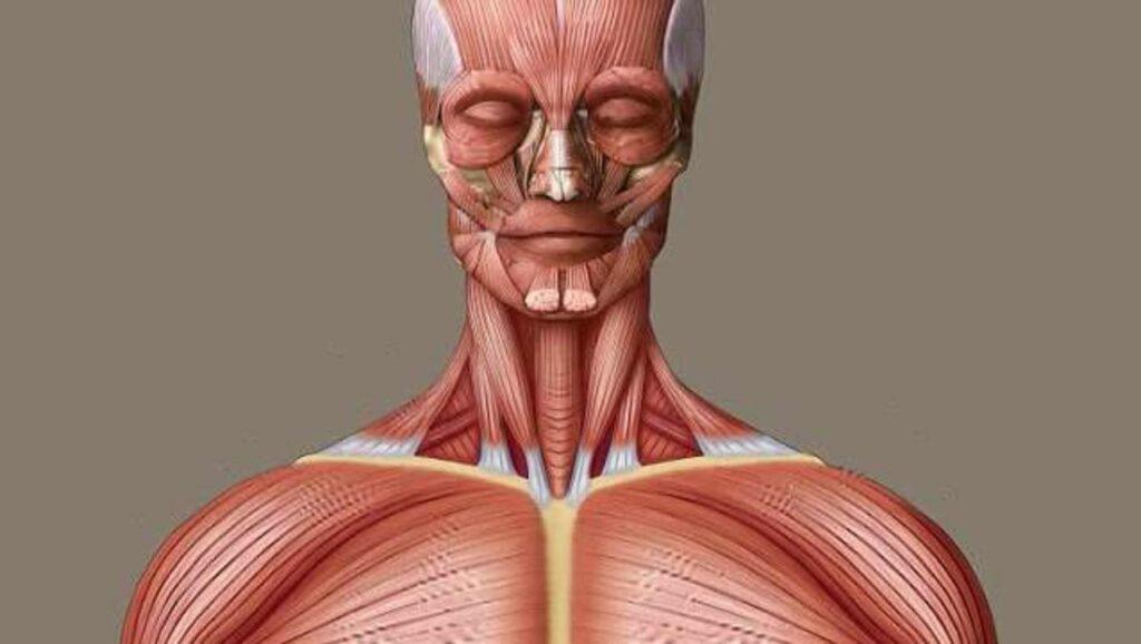 cara kerja otot pada manusia