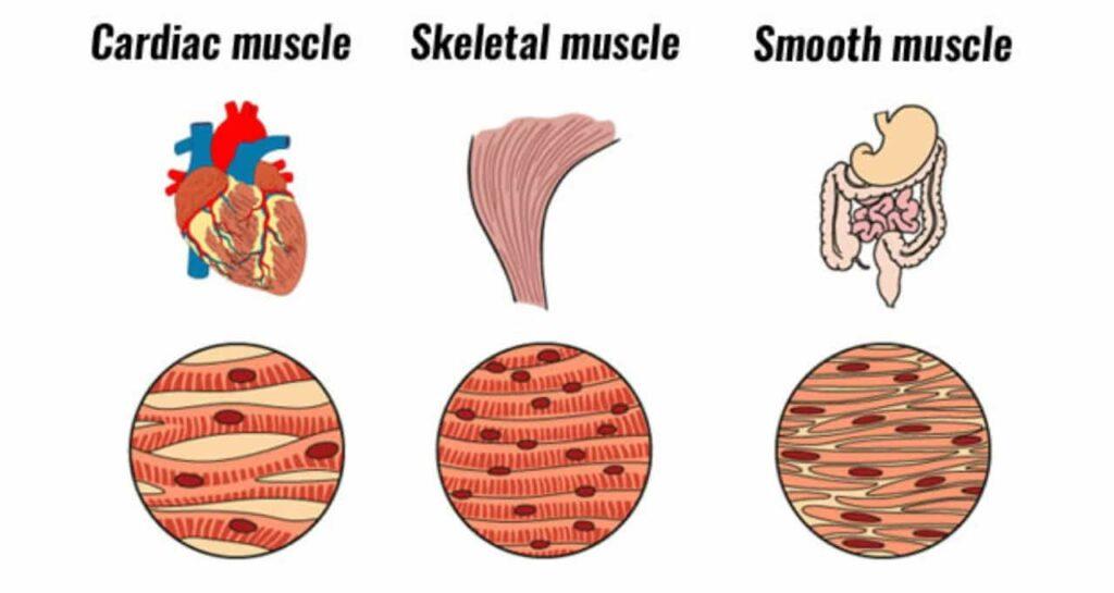 Tipe otot : Cardiac (Otot Jantung), Skeletal (Otot Lurik) dan Smooth (Otot Polos)