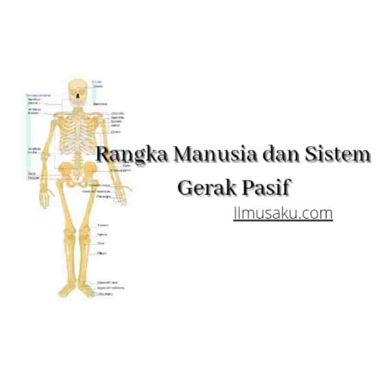 Rangka Manusia dan Sistem Gerak Pasif