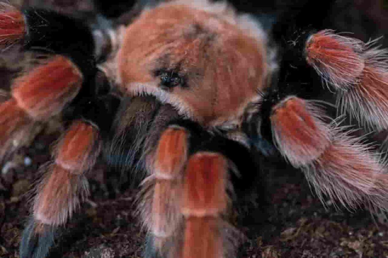 Tips Cara Memelihara Tarantula