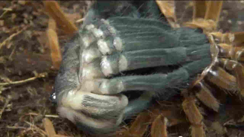 Tarantula ganti kulit