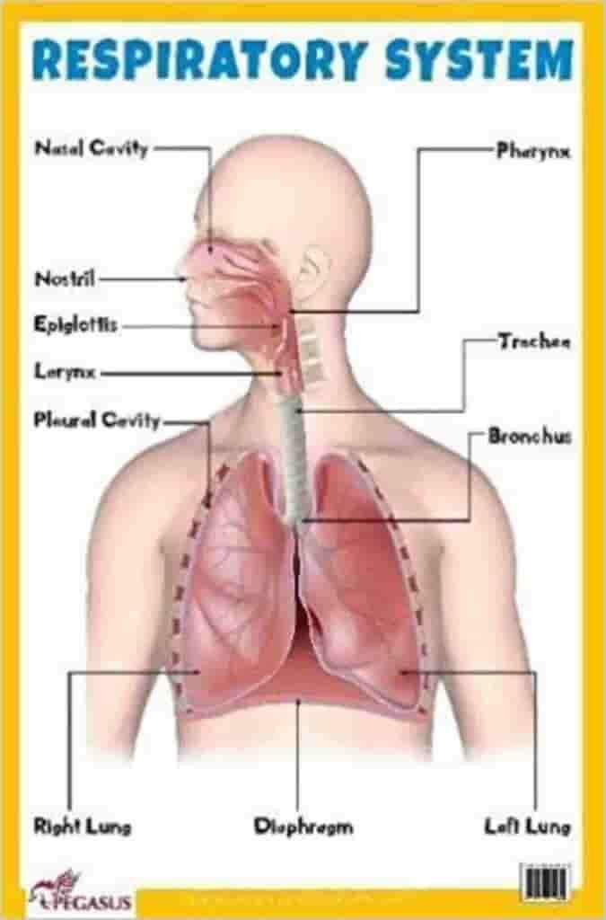 Saluran organ pernapasan