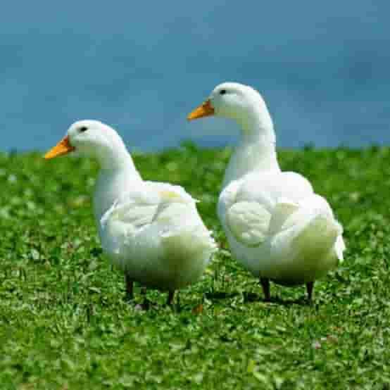 Cara merawat Bebek Peking